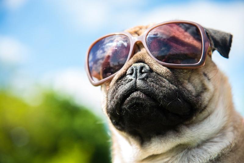 mops dog in sunglasses